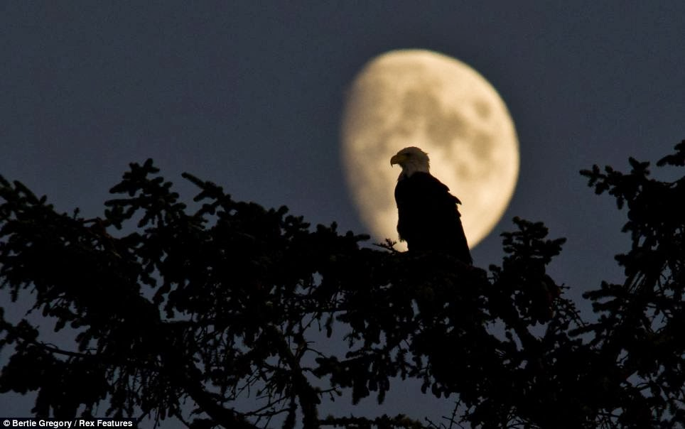 bald+eagle+moon